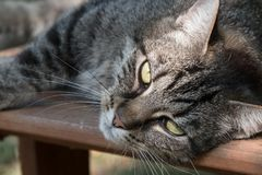 Cute tabby cat lying on a wooden bench in the garden and looking. Into the camera, selected focus, narrow depth of field royalty free stock photos