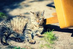 Cute tabby cat lying in the yard. Near the overturned chair stock image