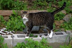 A cute tabby cat outdoors. A beautiful tabby cat standing on cement blocks in the outdoors stock image