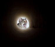 Cute tabby cat peeking in hole Stock Photos