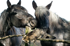 Cute Tabby Cat Play With Old Horses On The Corral Fence Stock Images