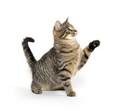 Cute tabby cat playing Royalty Free Stock Image