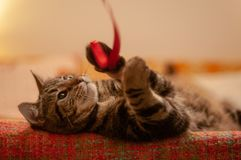 Cute tabby cat playing with a red ribbon royalty free stock image
