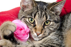 Cute tabby cat with rose Stock Images