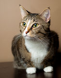 Cute tabby cat sitting and alert. Stock Photos