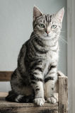 Cute tabby cat sitting and looking Royalty Free Stock Images