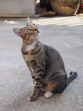 Cute tabby cat sitting and staring to something Royalty Free Stock Photos