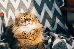 Cute tabby cat sitting in stylish chair in sunny room. Maine coon with green eyes and funny emotions relaxing in sunlight. Space stock image