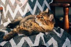 Cute tabby cat sitting in stylish chair in sunny room. Maine coon with green eyes and funny emotions relaxing in sunlight. Space royalty free stock images
