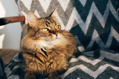 Cute tabby cat sitting in stylish chair in sunny room. Maine coon with green eyes and funny emotions relaxing in sunlight. Space stock images