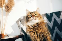 Cute tabby cat sitting in stylish chair in sunny room. Maine coon with green eyes and funny emotions relaxing in sunlight. Space royalty free stock photography