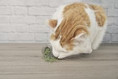 : Cute tabby cat sniffing on dried catnip. stock image