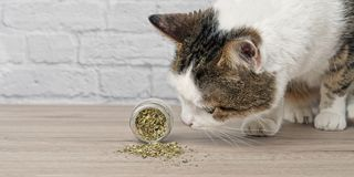 Cute tabby cat sniffing dried catnip. royalty free stock photography