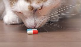 Cute tabby cat sniffs on medicine capsules. stock photo