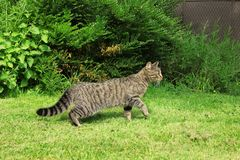 Cute tabby cat walking outdoor on green grass. royalty free stock image