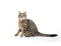 Cute tabby cat on white Stock Photo