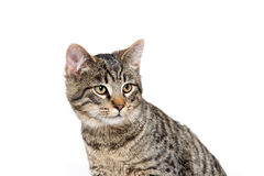 Cute tabby cat on white Stock Images