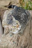 Cute tabby cat on wood log royalty free stock photos