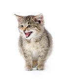 Cute tabby crying Royalty Free Stock Images