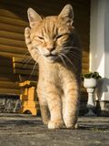 Cat on the catwalk. Cute tabby european red tomcat is walking to the photographer- is moving very elegantly- a cat on a catwalk Stock Photography
