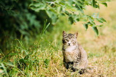 Cute Tabby Gray Cat Kitten Pussycat Play In Grass Outdoor At Summer Evening. Royalty Free Stock Photography