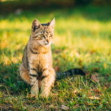 Cute Tabby Gray Cat Kitten Pussycat. Sitting In Grass Outdoor In Sunny Summer Evening stock photography
