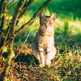 Cute Tabby Gray Cat Kitten Pussycat. Sitting In Grass Outdoor In Sunny Summer Evening royalty free stock photos