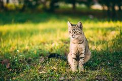 Cute Tabby Gray Cat Kitten Pussycat. Sitting In Grass Outdoor In Sunny Summer Evening royalty free stock images
