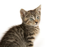 Cute tabby kiten Stock Image