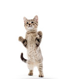 Cute tabby kitten Royalty Free Stock Photos