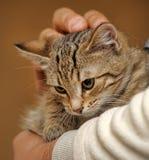 Cute tabby kitten Royalty Free Stock Photos
