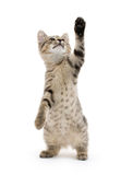 Cute tabby kitten Royalty Free Stock Photography