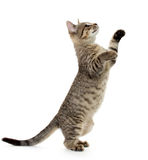 Cute tabby kitten. Cute baby tabby kitten standing on hind legs and leaping on white background Royalty Free Stock Images
