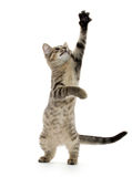Cute tabby kitten Stock Photography