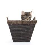 Cute tabby kitten in basket Royalty Free Stock Photography