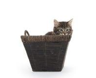 Cute tabby kitten in basket Royalty Free Stock Image