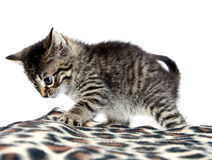 Cute tabby kitten and blanket Royalty Free Stock Photo