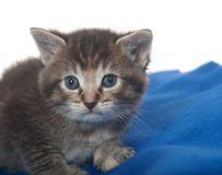 Cute tabby kitten with blue blanket Royalty Free Stock Photos