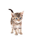 Cute Tabby Kitten with Blue Eyes Royalty Free Stock Photography