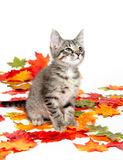 Cute tabby kitten in colorful leaves Stock Photos