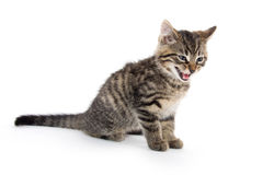 Cute tabby kitten crying on white Royalty Free Stock Image
