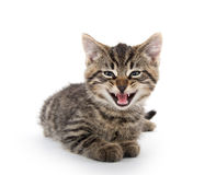 Cute tabby kitten crying on white Royalty Free Stock Photo