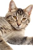 Cute Tabby Kitten face. Cute tabby with yellow eyes close up on white Royalty Free Stock Photos