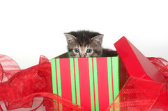 Cute tabby kitten in gift box Stock Images