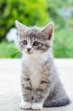 Cute tabby kitten. Cute tabby grey and white kitten Royalty Free Stock Photography