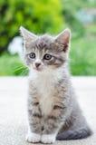 Cute tabby kitten. Cute tabby grey and white kitten royalty free stock photography
