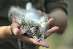 Cute tabby kitten  in the hands Stock Image