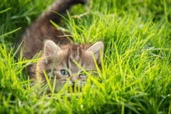 Cute tabby kitten hiding Stock Image