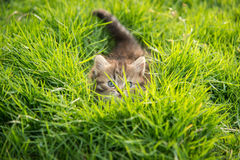 Cute tabby kitten hiding Stock Photography