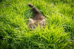 Cute tabby kitten hiding Stock Images